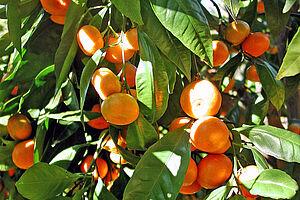 Mandarinenpflücken im kroatischen Kalifornien
