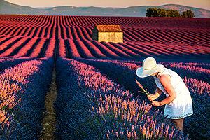 Provence - ein Traum in Violett