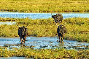 Duftender Lavendel & wilde Stiere