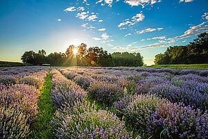 Lavendelblüte in Slowenien