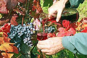 Weinlese in Zielona Gora